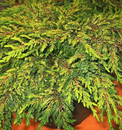 Juniperus communis Goldschatz_1.jpg