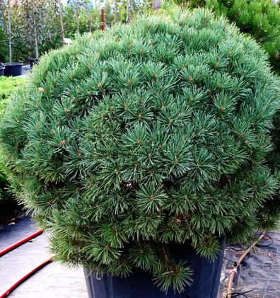 Pinus sylv Watereri_1.JPG
