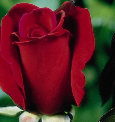 Rosa Erotika2.jpg