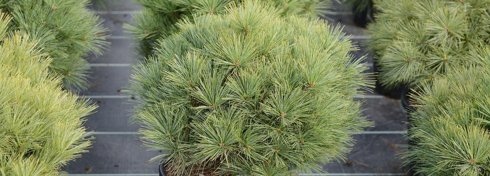 Pinus strobus Minima_1.jpg