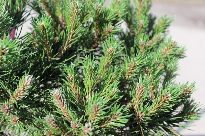 Pinus mugo Laurin_2.jpg