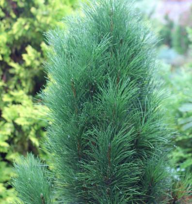 Pinus nigra Green Rocket_2.jpg