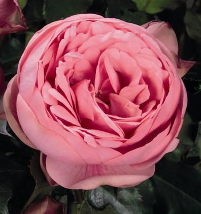 Rosa Happy Piano2.jpg
