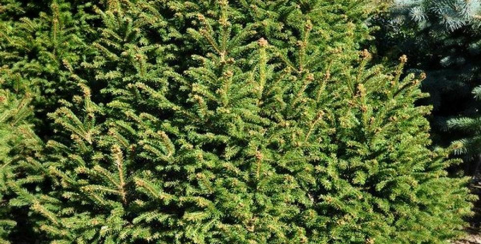 Picea a. 'Ohlendorffii' ель  'Ohlendorffii'