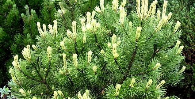 Сосна горная Поль Малетер  Pinus mugo Pal Maleter