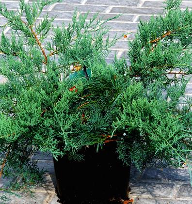 Juniperus virg Grey Owl_1.JPG