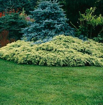 juniperus_squamata_holger5.jpg