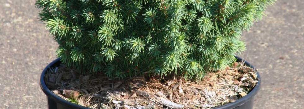 Picea glauca Alberta Globe_1.jpg