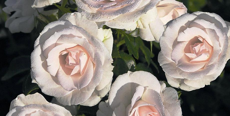 Rosa floribunda Aspirin