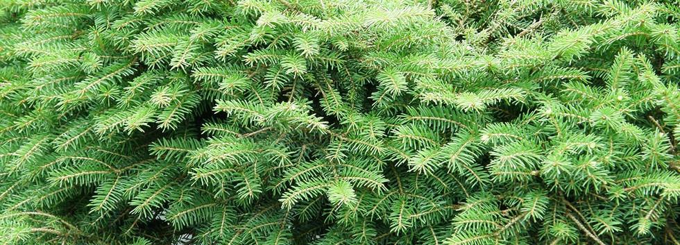 Picea abies Ohlendorffii_2.jpg