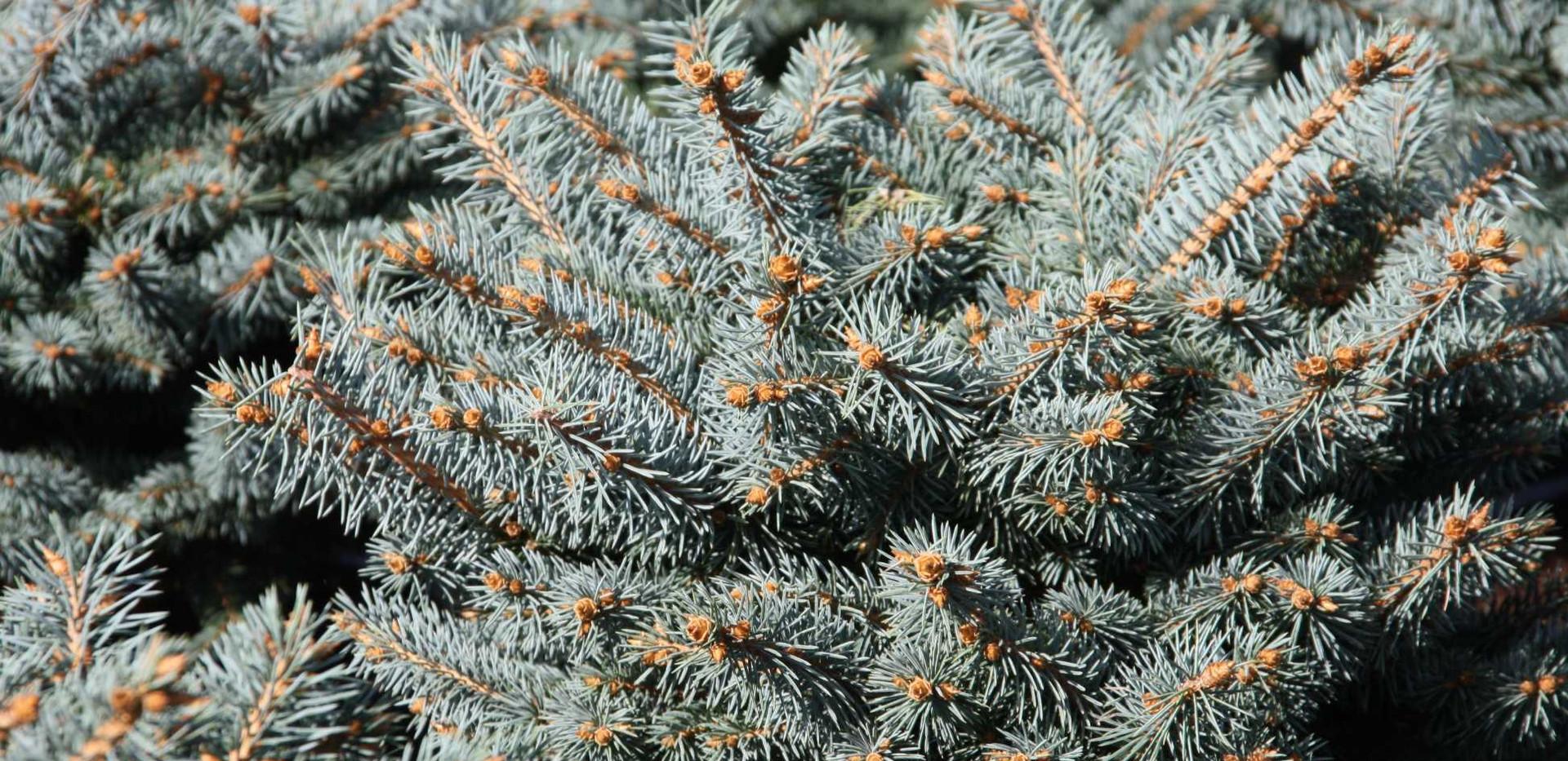 Picea pungens Glauca Globosa_2.jpg