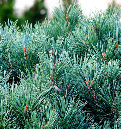 Pinus Sylvestris Watereri штамб2.JPG