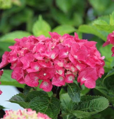 Hydrangea macr. Blacksteel Pink.jpg
