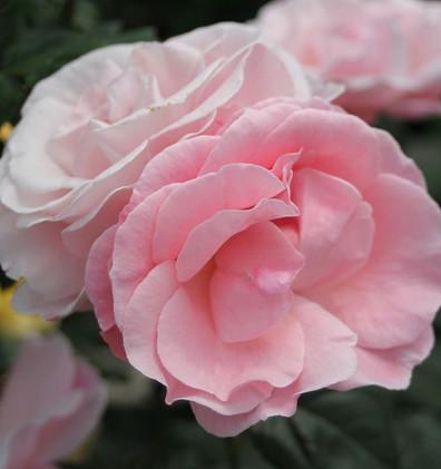Rosa The Queen Elizabeth3.jpg