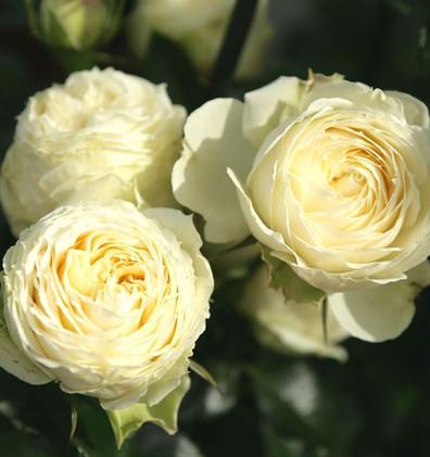Rosa Lemon Piano_0.jpg