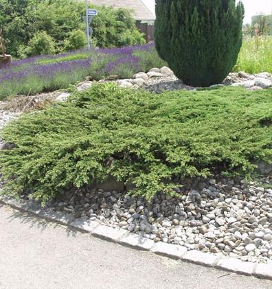 Juniperus communis Repanda_3.jpg