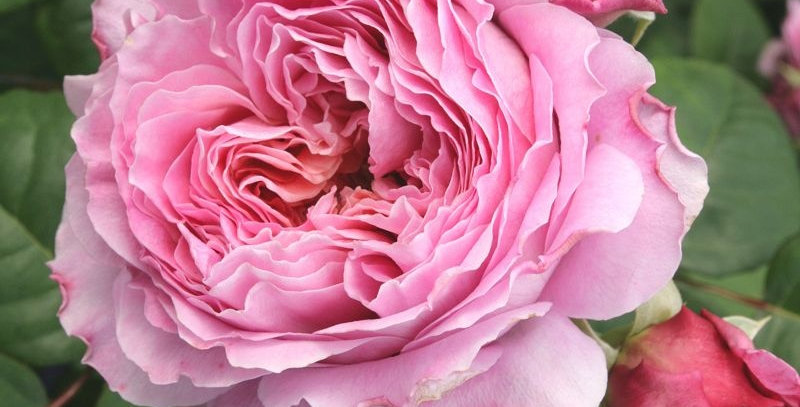 Rosa tea hybrid Eisvogel