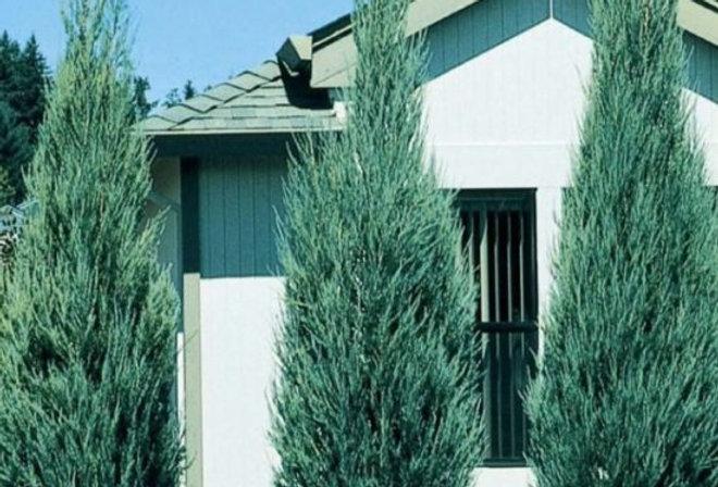 Можжевельник скальный `Блю Эрроу` Juniperus scopulorum `Blue Arrow`