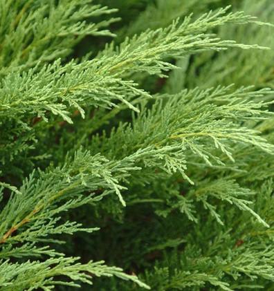 (Juniperus sabina Tamariscifolia)