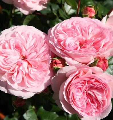 Rosa Mariatheresia1.jpg