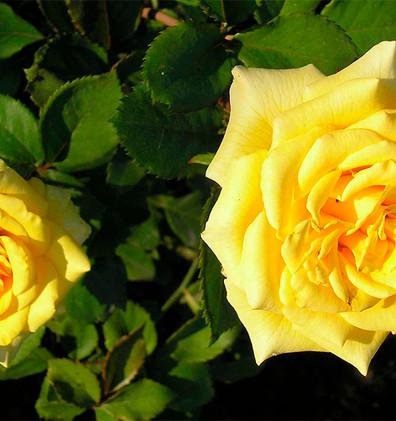 Rosa Divina2.jpg