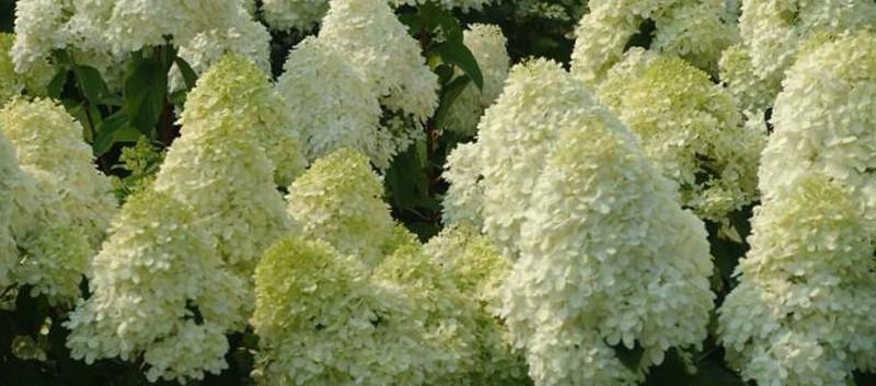 Hydrangea paniculata Diamantino