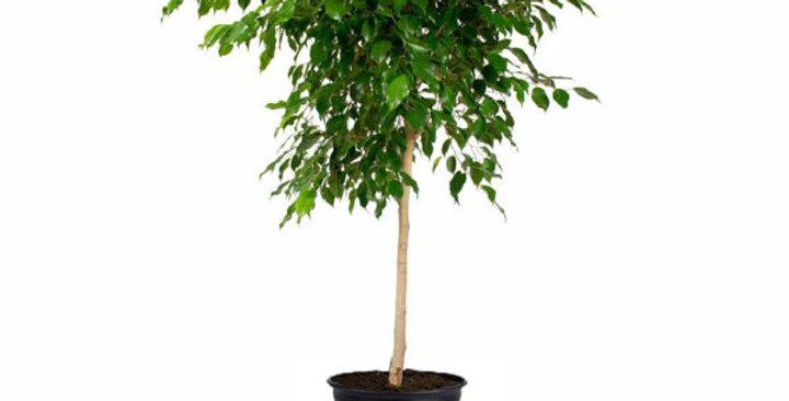 Ficus Exotica Op Stam