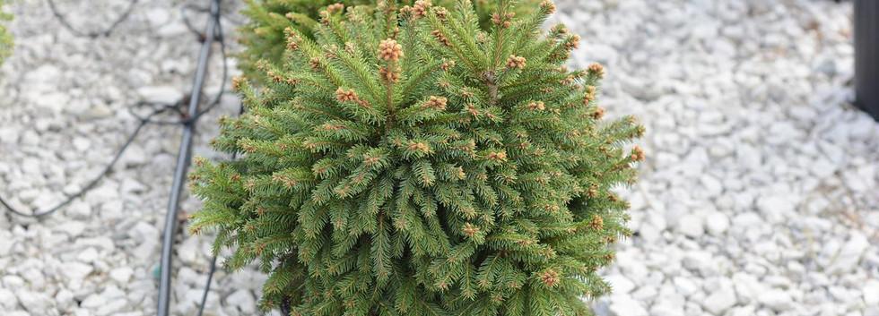 Picea abies Ohlendorffii_1.jpg