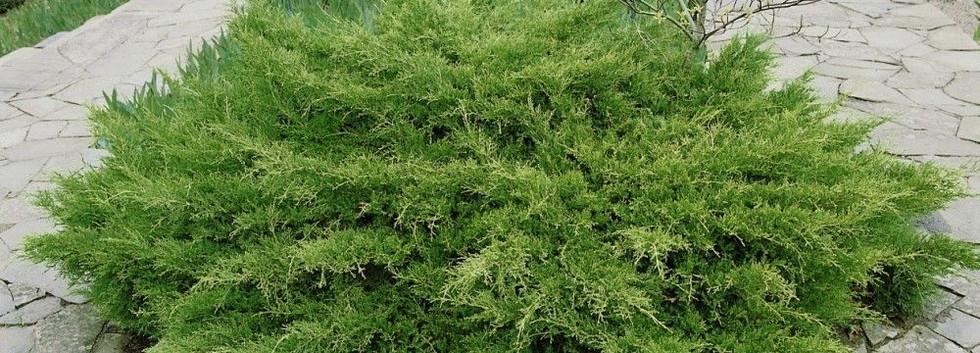 Juniperus media Pfitz. Compacta_3.jpg