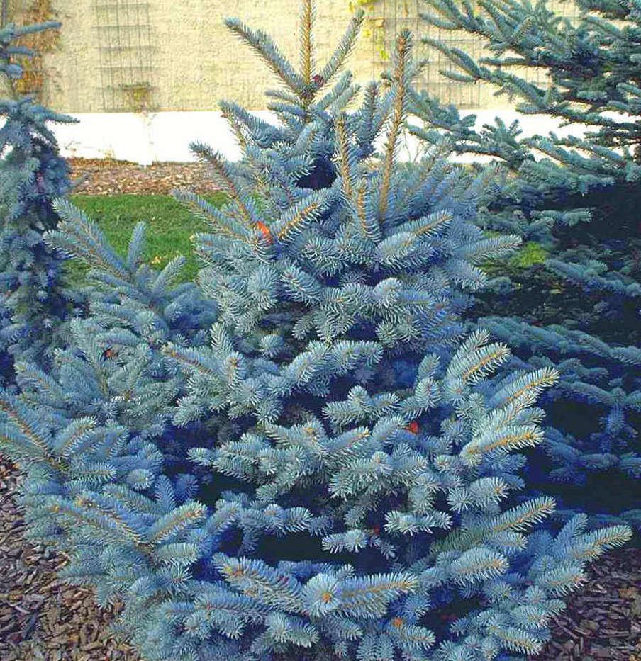 Picea pungens Oldenburg_3.jpg