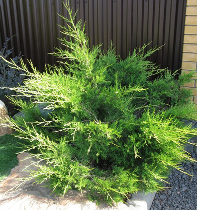 Juniperus chin Kuriwao Gold_3.JPG