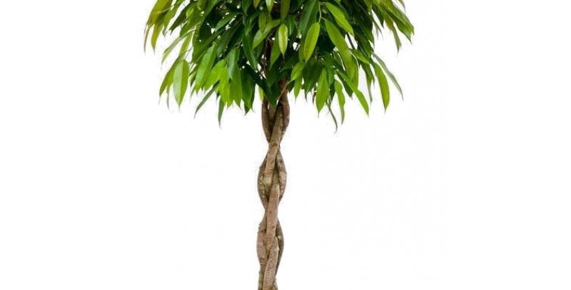 Ficus Amstel King Gevlochten