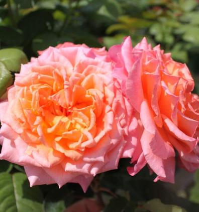 Rosa Albrecht Durer3.jpg