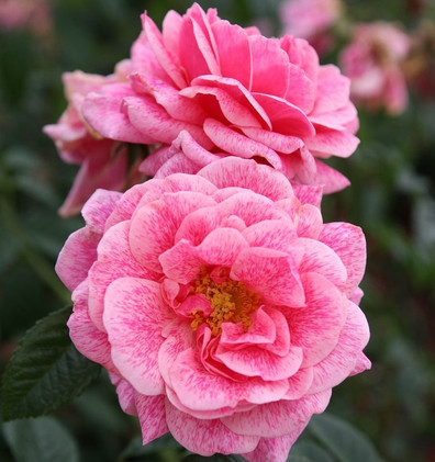 Rosa Camelot_3.jpg