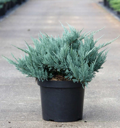 Juniperus hor Blue Chip_1.jpg