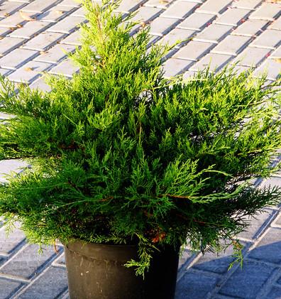 Juniperus media Gold Coast_1.JPG