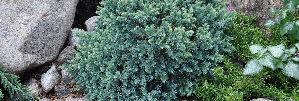 Можжевельник чешуйчатый 'Блю Стар'  (Juniperus squamata 'Blue Star')