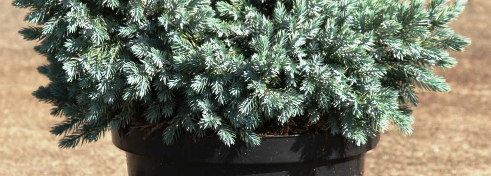 Juniperus squam Blue Star_1.jpg