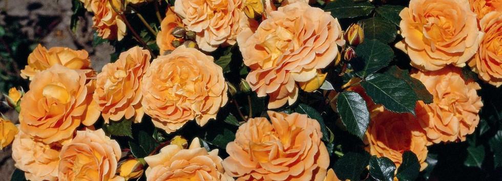Rosa Goldelse4.jpg
