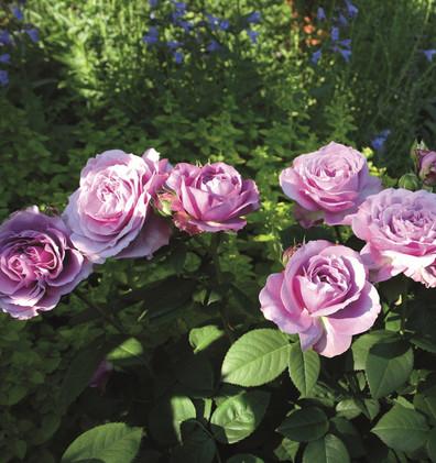 Rosa Lavender Ice3.jpg