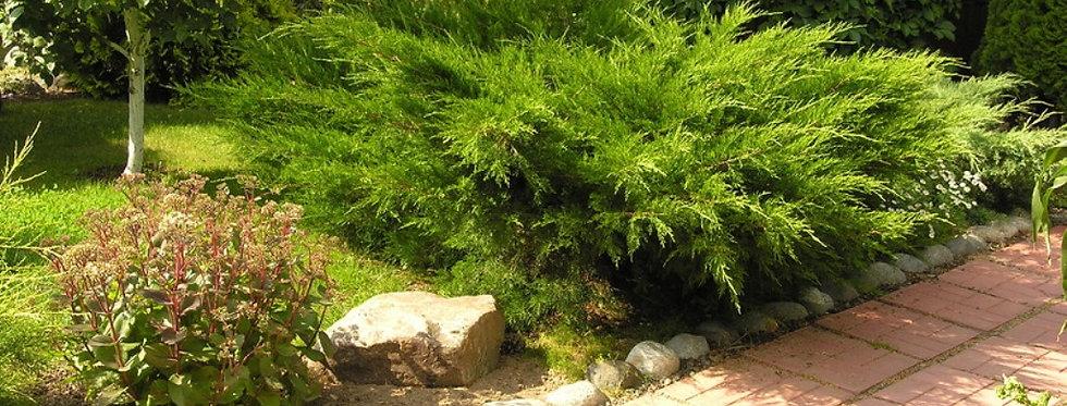 Можжевельник средний Минт Жулеп  (Juniperus media Mint Julep)