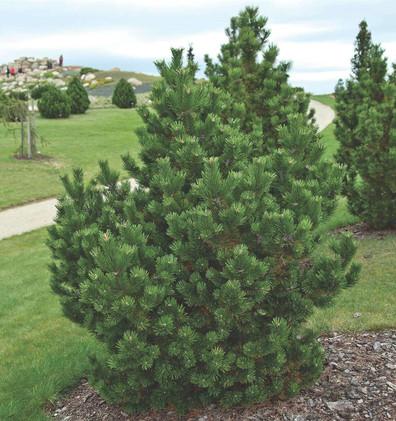 Pinus mugo Gnom_3.jpg