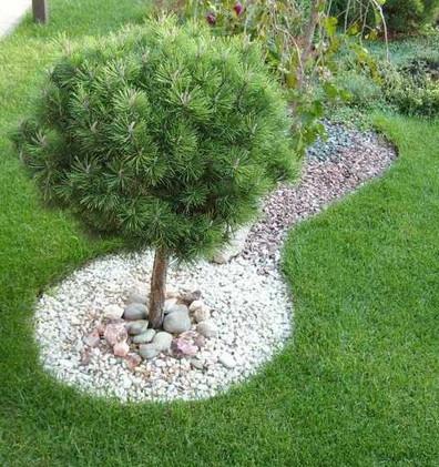 Pinus mugo Pumilio штамб3.jpg
