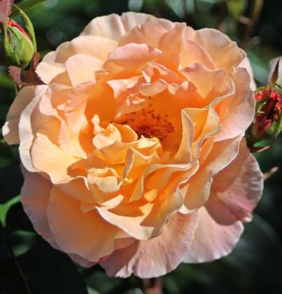 Rosa Whisky2.jpg