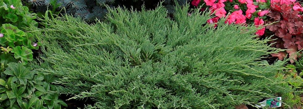 Juniperus hor Andorra Compact_3.jpg
