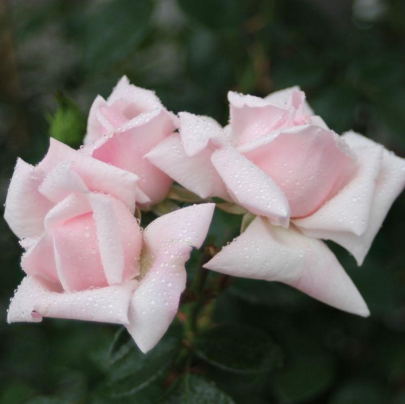 Rosa New Dawn3.jpg