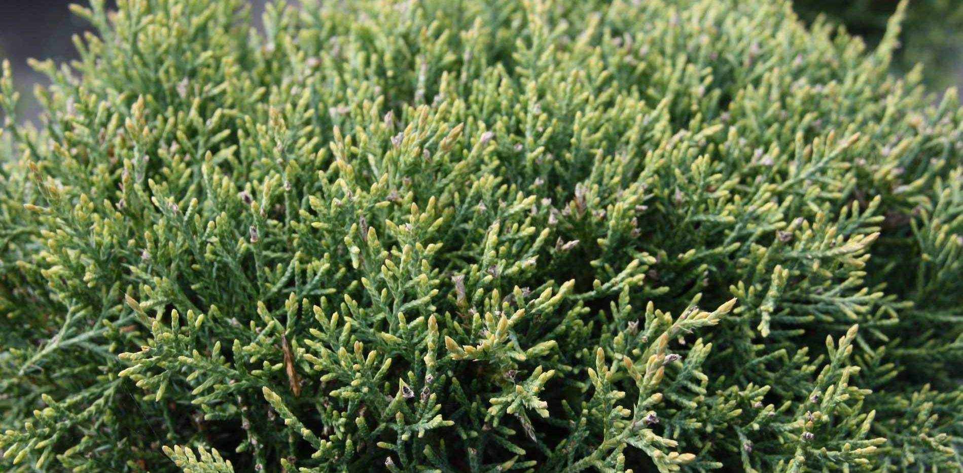 Juniperus virg hetzii bons_2.jpg