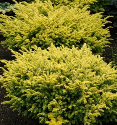 Taxus baccata Summergold_3.jpg