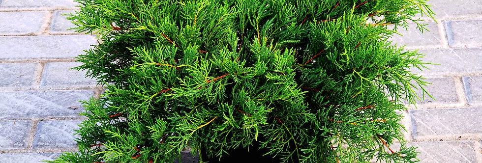 Можжевельник средний Олд Голд  (Juniperus media Old Gold)