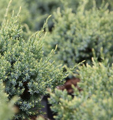Juniperus squam Holger_2.jpg